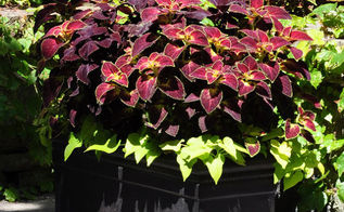 coleus as a colorful annual, container gardening, flowers, gardening, Coleus with Sweet Potato Vine Ipomoea batatas at its feet