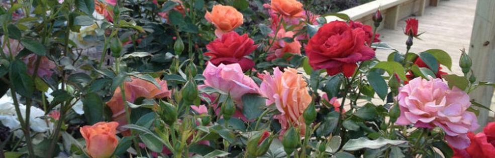 Gaga's Garden - Susan Fox cover photo