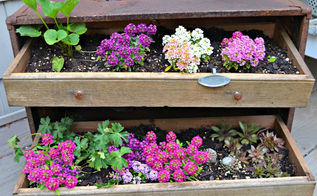 unexpected garden, flowers, gardening, repurposing upcycling, succulents, Beautiful and in time the ground cover should overflow the drawers