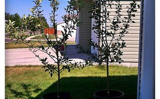 planting two apple trees, gardening