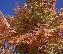 fall leaf color for acer palmatum sango kaku coral bark maple i took these, gardening