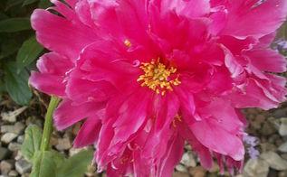 back yard flowers, flowers, gardening, Pretty in Pink