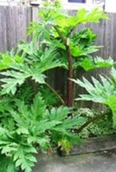 hogweed, gardening