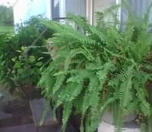 moved, gardening, This is just one of my old plants that I lost when I moved up North lookind to replace it soon