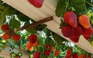 strawberry gutter garden, curb appeal, gardening