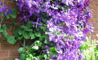 grow clematis for a gorgeous burst of colour, flowers, gardening, Instant happiness