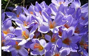 the other season for crocus, flowers, gardening, Autumn crocus will naturalize into thick stands when happy photo by Matt Mattus via Growing with Plants