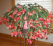 my christmas flowers, christmas decorations, seasonal holiday decor, My Christmas flowers