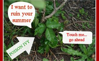 do you know what poison ivy looks like, gardening, Poison ivy avoid this if you are allergic