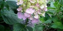 tips for keeping hydrangeas from drooping, flowers, gardening, hydrangea, Cut your Hydrangeas in the early morning and immediately immerse them in water
