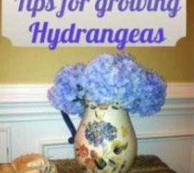 5 tips for growing hydrangeas flowers gardening hydrangea 5 tips for growing - When To Trim Hydrangea