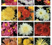 university of minnesota hardy chrysanthemums developed by the u of mn, gardening, chrysanthemums developed by the U of MN for cold climates