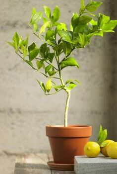 potted indoor citrus trees gardenista