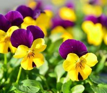 plant these 4 flowers indoors get sublime spring blooms for lesss, flowers, gardening, Pansies