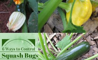 6 ways to control squash bugs in your garden, gardening, pest control, Squash bugs can turn a healthy plant into a wilted mess in a matter of hours What can you do to prevent an infestation