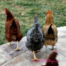 chickens make great pets too, homesteading, pets animals