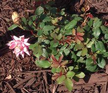 reddish leaves on new knockout rose bush, gardening