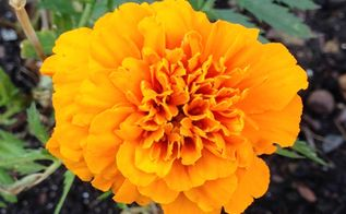 marigolds in the vegetable garden yes and here s why, flowers, gardening