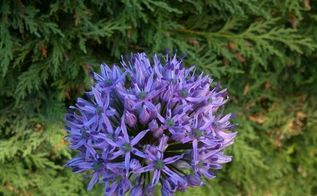 24 plants slugs won t eat, flowers, gardening, hydrangea, pest control, Allium