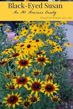 black eyed susans an easy flowering beauty for the hot summer garden, flowers, gardening