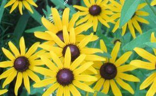 garden black eyed susans flowers, flowers, gardening