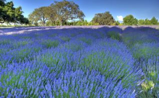 lavender about feature, flowers, gardening