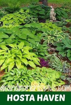 hosta varieties collection garden, gardening, perennial