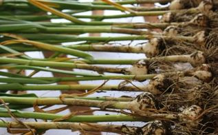 gardening harvesting garlic tips, gardening, homesteading