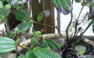 q gardening tips david viburnum leaf issue, gardening