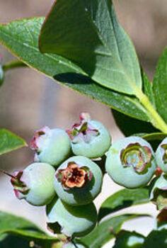 gardening harvest blueberries preserving, gardening, homesteading