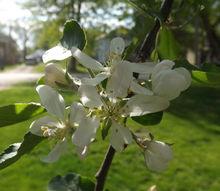 gardening apple tree turnovers, gardening, homesteading
