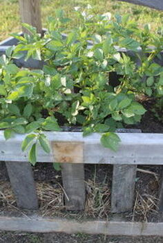 the great potato crate experiment testing new ways to grow in the garden, container gardening, gardening, raised garden beds, Our potatoes growing in our crates in mid summer