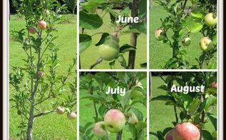 a tour of our fruit orchard and hometalk clipboard, gardening