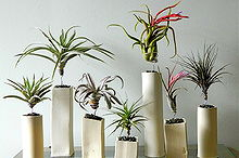 q gardening air plants where purchase buy, container gardening, gardening