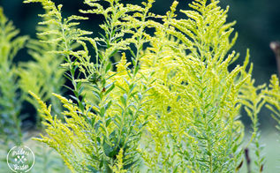 gardening goldenrod weed mistake, gardening, This is Goldenrod
