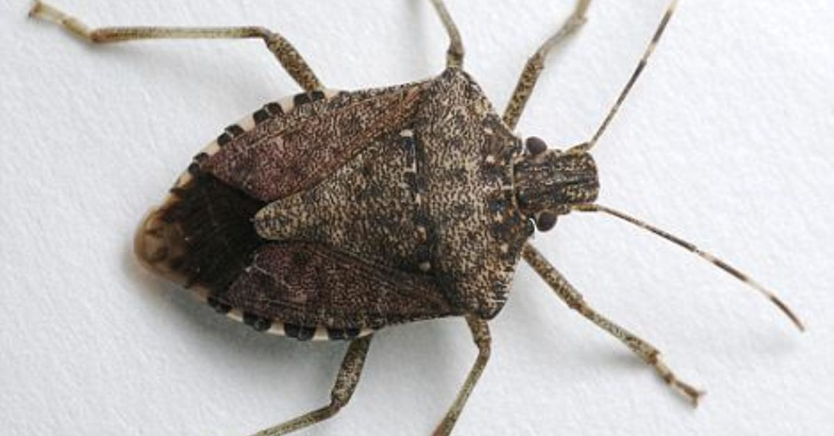Why Are Stink Bugs Covering My House Hometalk