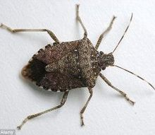 removing stink bugs covering house, pest control