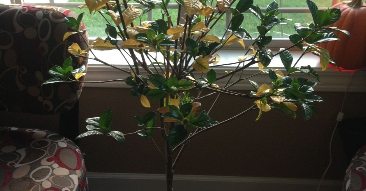 Help My Gardenia Is Dying Hometalk