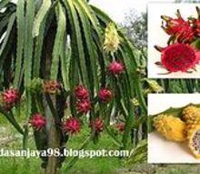 gardening tips dragon fruit tree help, gardening, how to
