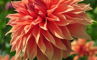 amazing dinner plates dahlias, flowers, gardening