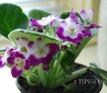 gardening flowers african violets, gardening, home decor