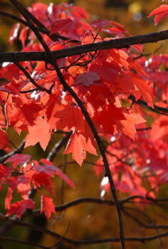 for fiery fall foliage are you barking up the right trees, gardening, landscape, outdoor living, Red Maple in Fall