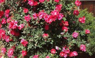 gardening tips roses, flowers, gardening