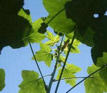 gardening okra tall large, gardening