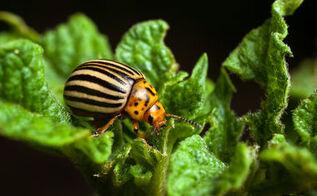garden bugs organic pest control, gardening, homesteading, pest control