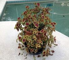 coleus planet problem, gardening