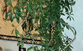 schefflera umbrella plant favorite house plant choice, gardening