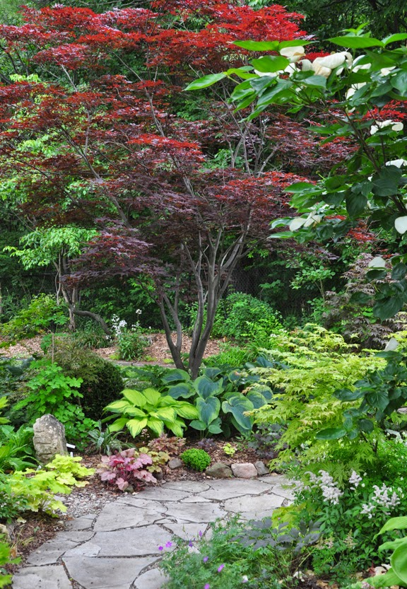 Growing and care for japanese maples hometalk for Japanese garden bushes