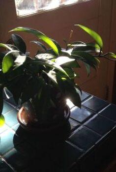 hoya plant identification, gardening