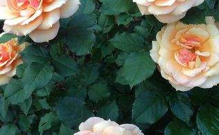 rose care tips techniques, flowers, gardening